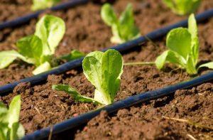impianto irrigazione a goccia_tubo_verdedesign.it_azienda_floricola_donetti_
